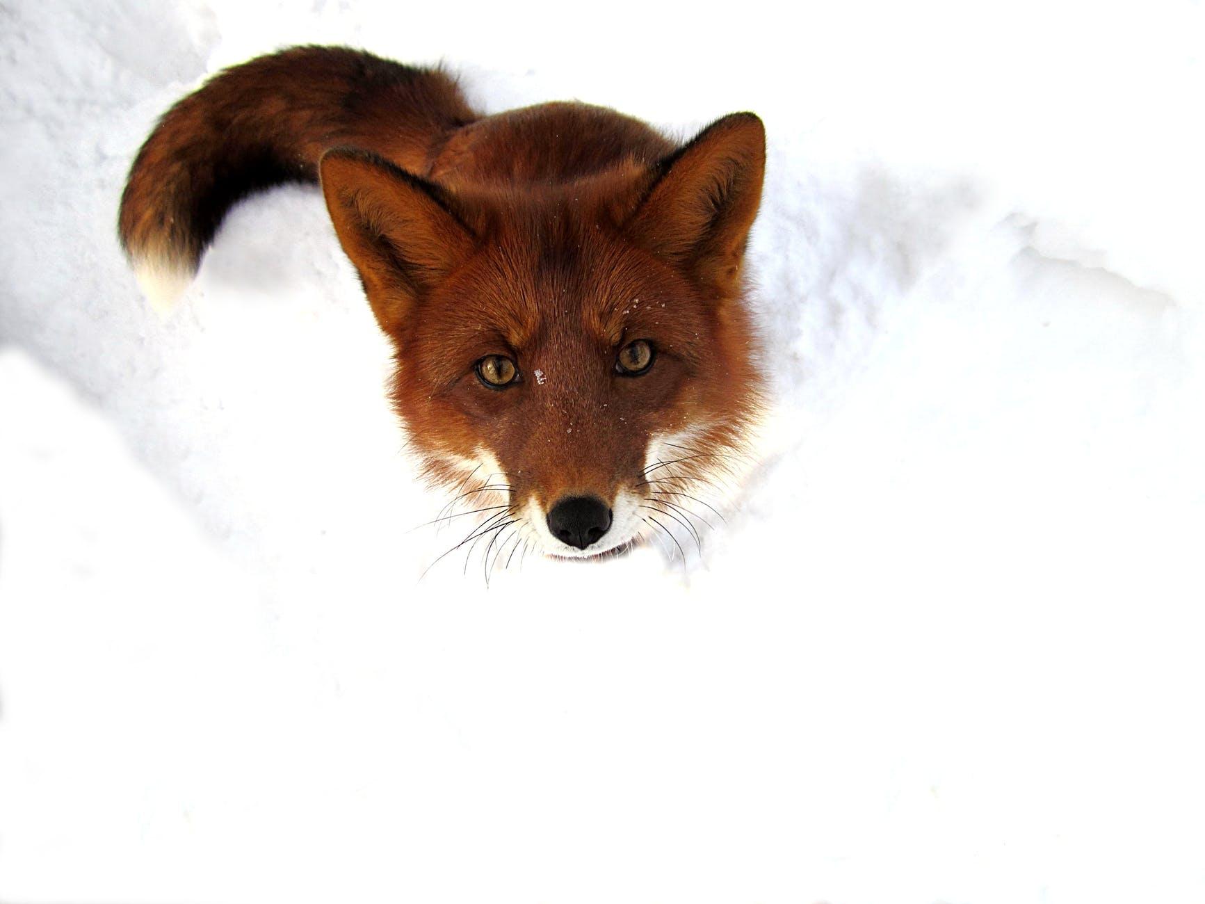 wild fluffy fox on snowy ground in winter