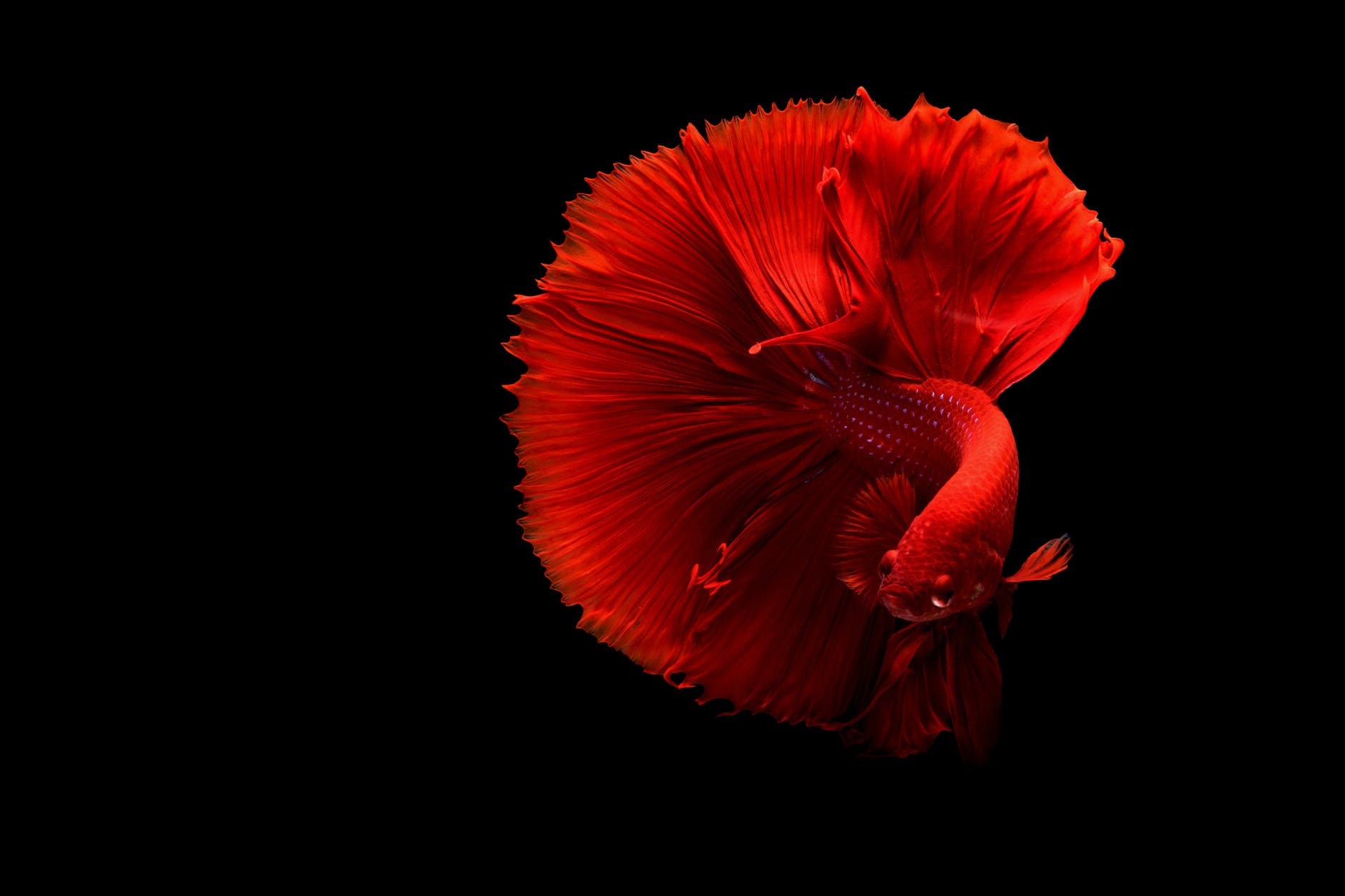 close up of a red siamese fighting fish